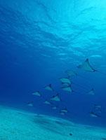 サイパンの海を優雅に泳ぐマダラトビエイ