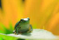 カエルとヒマワリ 10257000180| 写真素材・ストックフォト・画像・イラスト素材|アマナイメージズ