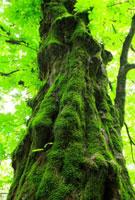 トチの大木