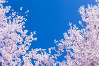 サクラと青空 10257001437| 写真素材・ストックフォト・画像・イラスト素材|アマナイメージズ