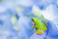 アジサイの花にいるカエル