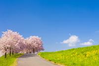 千曲川堤防の桜堤 10257002164| 写真素材・ストックフォト・画像・イラスト素材|アマナイメージズ