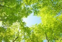 新緑のブナと空