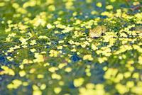 カエルと水草