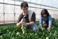 ホーレンソウの収穫をする農家
