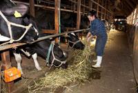 酪農家 餌をやる酪農家