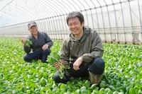 小松菜を収穫する農家