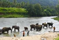 ピンナワラの象の孤児院 水浴びする象