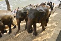 ピンナワラの象の孤児院の象