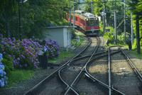 箱根登山鉄道の電車と線路脇に咲くアジサイ