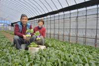 コマツナの収穫をする農家夫婦