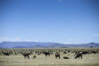 牛と山 10261022076| 写真素材・ストックフォト・画像・イラスト素材|アマナイメージズ