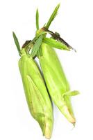 生でも食べられる白トウモロコシ