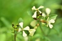ハーブのルッコラの花