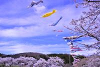 夏井千本桜の桜並木とコイノボリ