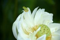古代ハスの里公園に咲く白いハスとカエル