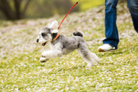 サクラの木の下を走る犬 10264001361| 写真素材・ストックフォト・画像・イラスト素材|アマナイメージズ
