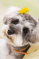 タンポポを付けた犬 10264001363| 写真素材・ストックフォト・画像・イラスト素材|アマナイメージズ