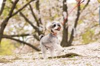 サクラの木の下を走る犬