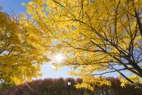 バッテリーパークシティーの紅葉の木々と太陽