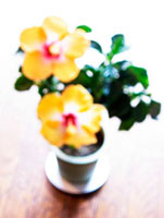 窓際で咲くハイビスカス
