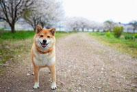 道に立つ柴犬