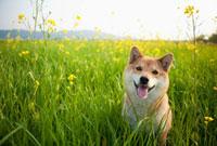 菜の花畑と柴犬
