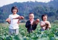 サツマイモを持って畑に立つ日本人の子供