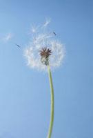 タンポポの綿毛 10272001312| 写真素材・ストックフォト・画像・イラスト素材|アマナイメージズ