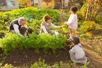 家庭菜園で野菜をとる祖父母と孫 10272003653| 写真素材・ストックフォト・画像・イラスト素材|アマナイメージズ