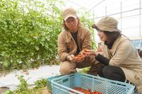 ミニトマトを収穫する男女