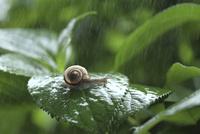 雨の中のアジサイとカタツムリ 10274006038| 写真素材・ストックフォト・画像・イラスト素材|アマナイメージズ
