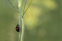 てんとう虫とウイキョウ