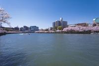 遊覧船と桜
