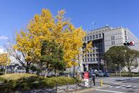 大阪市役所とイチョウ 10280005235| 写真素材・ストックフォト・画像・イラスト素材|アマナイメージズ