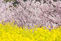 菜の花と桜 10284002350| 写真素材・ストックフォト・画像・イラスト素材|アマナイメージズ