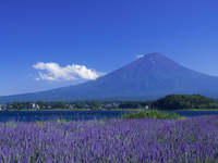 夏の富士山とラベンダー