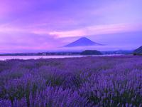 早朝のラベンダーと富士山