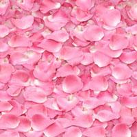 ピンクのバラの花びら