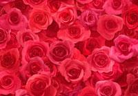 一面の赤いバラ