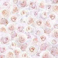 一面のピンクのバラ