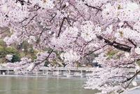 嵐山渡月橋と桜吹雪