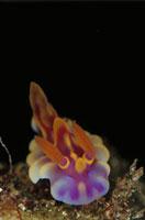 海中のミアミラウミウシ 10294000096  写真素材・ストックフォト・画像・イラスト素材 アマナイメージズ