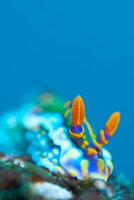 ミアミラウミウシ 10294000350| 写真素材・ストックフォト・画像・イラスト素材|アマナイメージズ