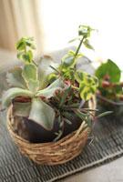 かごに入れた多肉植物の寄せ植え