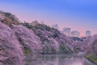 桜咲く千鳥ヶ淵の夕景 10309000921| 写真素材・ストックフォト・画像・イラスト素材|アマナイメージズ