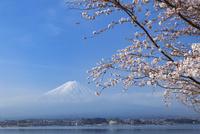 朝霧の富士山と桜