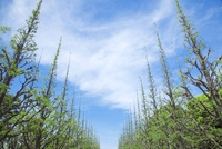 若葉の銀杏並木と雲