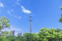 新緑の木立と東京スカイツリー 10309001115| 写真素材・ストックフォト・画像・イラスト素材|アマナイメージズ