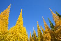 黄葉の銀杏と青空